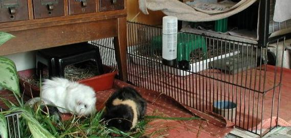 Primary guinea pig residence.